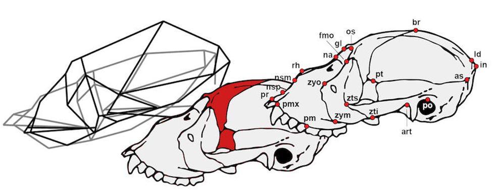 Un estudio analiza la peculiar anatomía craneal de los monos aulladores