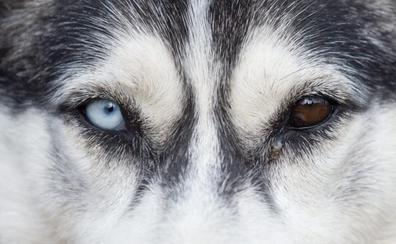 Investigan la intoxicación de 12 perros de la 35 Exposición de Nórdicos en Modúbar