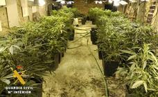 La Guardia Civil interviene 155 plantas de marihuana en Las Merindades