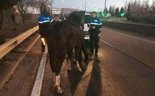 Un caballo recorre más de dos kilómetros por la ronda este en Las Flores