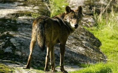 El TSJ de Castilla y León anula el Plan de Lobo por falta de informes