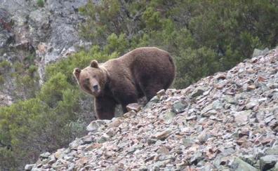 Un hombre sufre heridas por el ataque de un oso en la montaña de Palencia