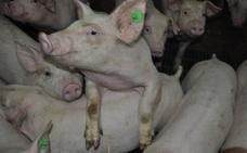 El sector del porcino sigue al alza con un incremento en las exportaciones del 67% en cinco años