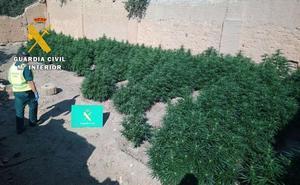 Identificado el supuesto propietario de una plantación de marihuana desmantelada en septiembre