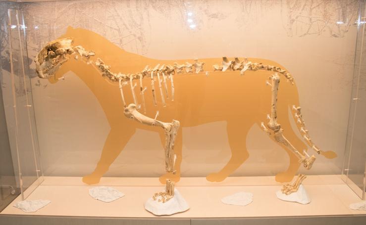 Los leones toman el Museo de la Evolución Humana
