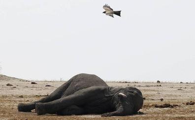 Gacelas, antílopes y elefantes del Sáhara, en peligro de extinción por el aumento de conflictos armados
