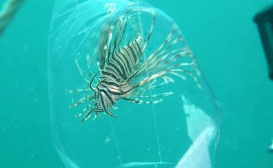 El pez león amenaza con invadir el Mediterráneo