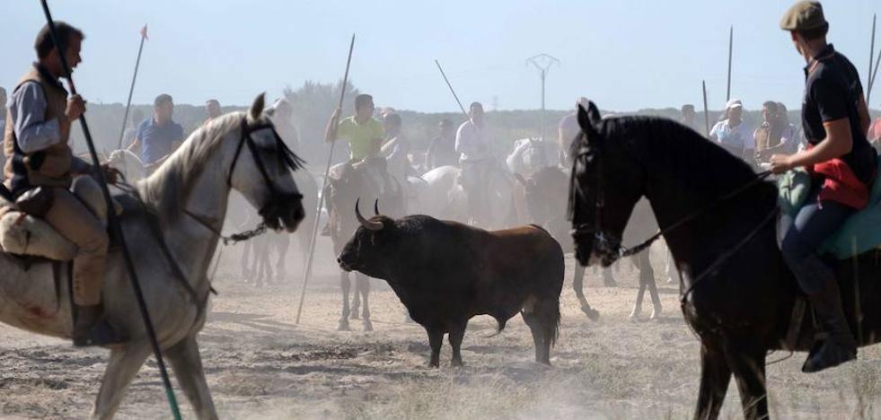 El TSJ rechaza el recurso de Tordesillas contra la sentencia sobre el Toro de la Vega