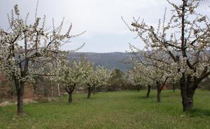 Una helada «moderada» hace peligrar las cosechas de cereza y manzana en Las Caderechas