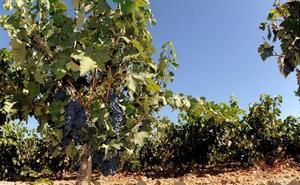 Los viticultores valoran los daños de la helada en la Ribera de Duero