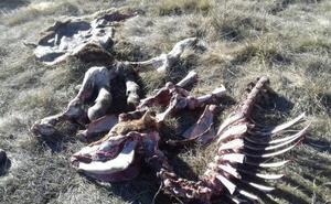 UPA-COAG considera justificada la caza del lobo al norte del Duero
