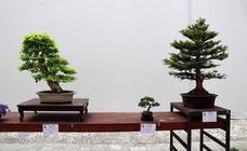 En imágenes la exposición de bonsáis