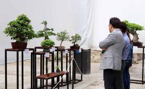 Los bonsáis, listos en sus macetas para ser contemplados