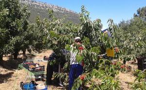 Las cerezas de Las Caderechas llegan al mercado tras el primer fin de semana de recogida