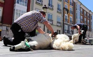 Las ovejas se quitan el abrigo