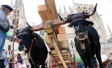 Los materiales que dieron forma a la Catedral vuelven en bueyes y vacas serranas