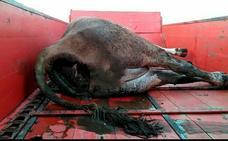 COAG denuncia que los buitres han matado a una vaca y a dos terneros en Las Merindades