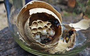 Los apicultores avisan del «alarmante» problema y peligrosidad de la avispa asiática