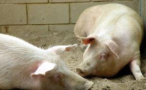 Ecologistas en Acción también dice no a la macrogranja porcina en Llano de Bureba