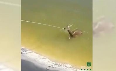 Final feliz para el cervatillo que no sabía nadar