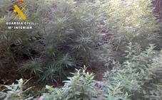 Descubren dos plantaciones de marihuana y detienen a uno de los propietarios en Valle de Tobalina