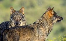 Los ataques de lobos en Castilla y León ascienden hasta los 1.449 en 2018