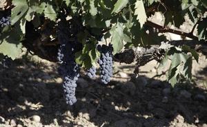 La maduración de la uva acumula un retraso de seis días respecto a la media