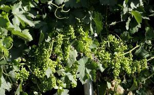 Ribera del Duero fija en 7.700 kilos por hectárea el límite de uva permitido