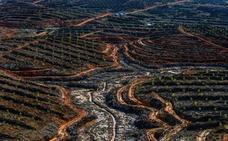 Greenpeace acusa a 25 compañías de aceite de palma de deforestar 1.300 km2 de selva