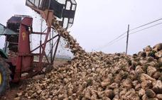 La campaña de remolacha llega con un mes de retraso debido a las siembras tardías