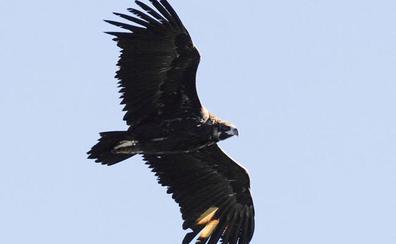 Con la suelta de 16 buitres negros se culmina la segunda liberación de la especie en la Sierra de la Demanda