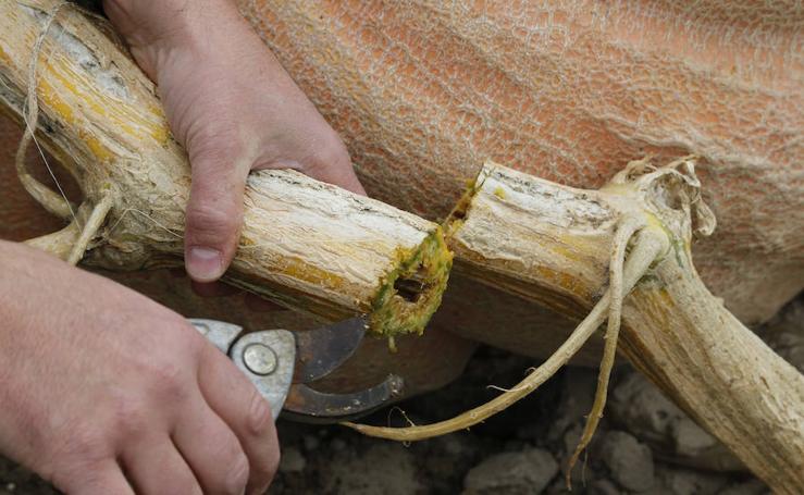 Una calabaza de 600 kilos en Palencia