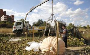 Necesitan hasta dos grúas para recolectar una calabaza de 600 kilos en Palencia