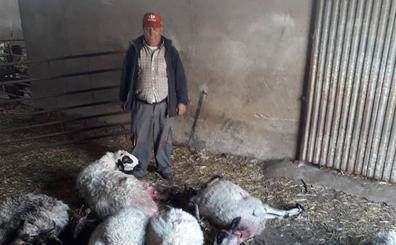 El lobo mata 20 ovejas en una explotación de Fresnadillo, Zamora