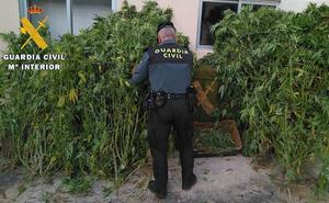 Incautan 10 plantas de marihuana y 1,1 kilos de cogollos en Merindad de Rio Ubierna