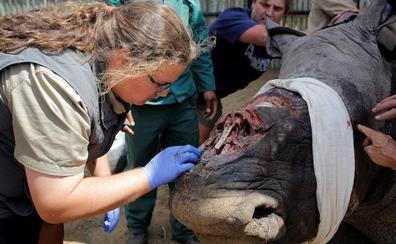China condena a tigres y rinocerontes