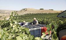 Ribera del Duero recoge la segunda mayor cosecha de su historia, con 125 millones de kilos de uva recogidos