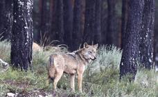 Más de 108.000 personas de 30 nacionalidades visitan el Centro del Lobo atraídas por la magia del cánido