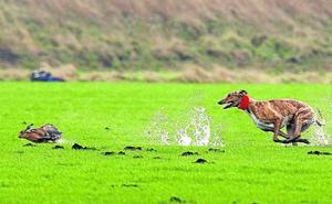 Junta y cazadores, en alerta ante el primer caso de mixomatosis en liebres