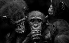 Una exposición muestra en el MEH los retratos de grandes simios realizados por Isabel Muñoz