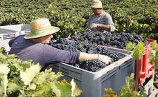 La vendimia culmina en Castilla y León con una cifra histórica de 306,5 millones de kilos de uva