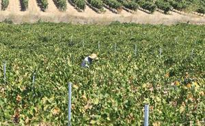 Ribera del Duero limita a 950 hectáreas el cupo de plantaciones para 2019
