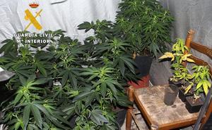 La Guardia Civil desmantela un cultivo clandestino de marihuana en el Alfoz de Burgos
