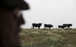 El sector del ganado de lidia comienza a repuntar tras perder 91 ganaderías