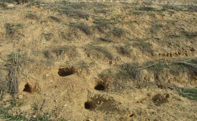 UCCL reclama medidas eficaces para controlar la plaga de conejos que afecta a la provincia de Burgos
