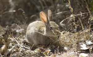 225 municipios disponen de permisos específicos para cazar conejos hasta junio