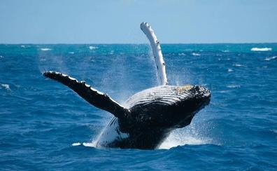 Las focas y las ballenas del Ártico modifican su dieta por el cambio climático