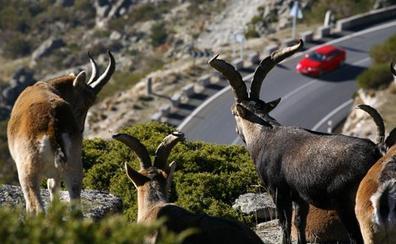 La fauna cinegética causa el 95% de los accidentes provocados por animales en Burgos