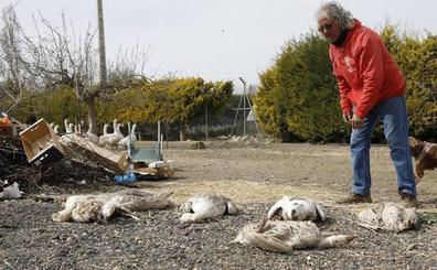 Roban y matan a las ocas amaestradas de Palencia
