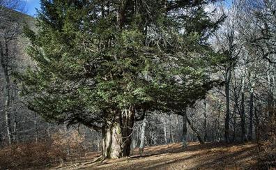 Los árboles más centenarios de Castilla y León